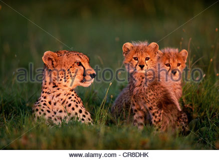 Cheetah & cubs, Kenya - Stock Photo