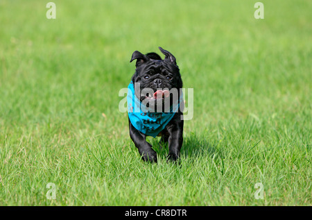 Pug wearing a scarf, adult, running across a meadow - Stock Photo