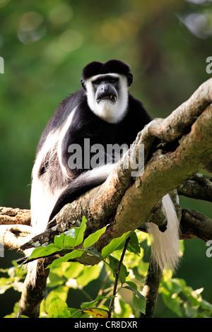 Angola colobus or Angolan black-and-white colobus (Colobus angolensis), adult sitting on tree, captive, Singapore - Stock Photo