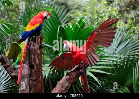 Scarlet Macaw (Ara macao), adult pair, Roatan, Honduras, Caribbean, Central America, Latin America - Stock Photo