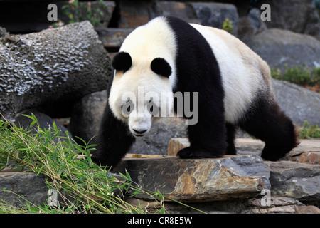 Giant Panda (Ailuropoda melanoleuca), adult, Adelaide Zoo, Adelaide, Australia - Stock Photo