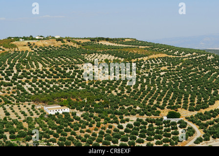 Spain, Andalusia, province of Jaen, Ubeda, city UNESCO World Heritage, olive trees field - Stock Photo