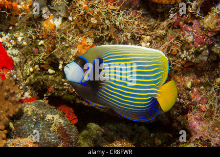 Emperor angelfish, Maldives - Stock Photo