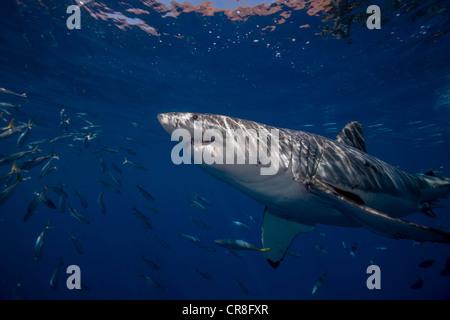 Great White Shark, Mexico. - Stock Photo