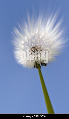 Close up of dandelion clock - Stock Photo