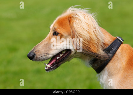 Young male Saluki, Persian Greyhound, Royal Dog of Egypt, dog (Canis lupus familiaris) sighthound breed, domestic - Stock Photo