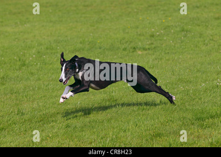 Galgo Espanol, Spanish Galgo, Spanish Greyhound (Canis lupus familiaris), running on a coursing race course - Stock Photo
