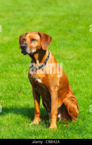 Rhodesian Ridgeback (Canis lupus familiaris), female, portrait - Stock Photo