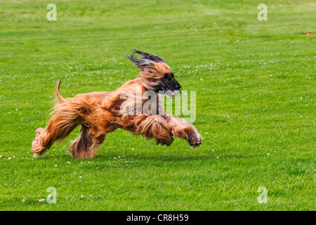 Male Afghan Hound dog (Canis lupus familiaris), running on coursing track - Stock Photo