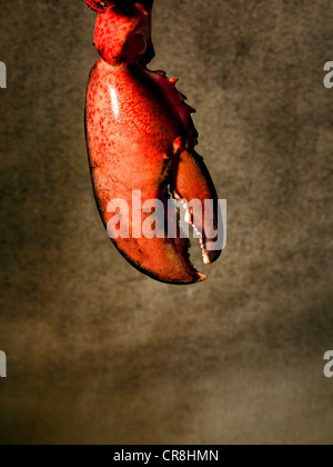 Lobster claw - Stock Photo