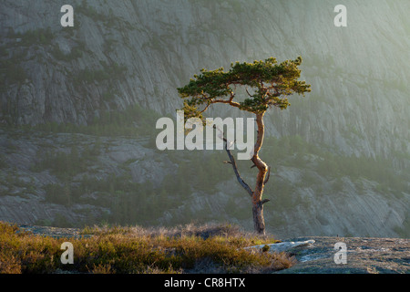 Pine tree at dawn at Måfjell in Nissedal, Telemark fylke, Norway. - Stock Photo