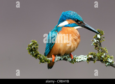 male kingfisher sitting on a twig looking right - Stock Photo