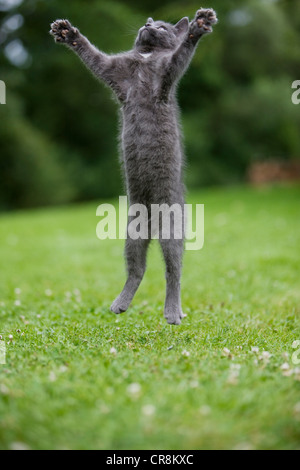 Grey cat jumping in mid air - Stock Photo