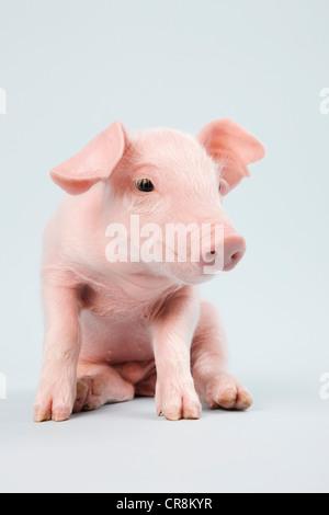 Cute piglet, studio shot - Stock Photo