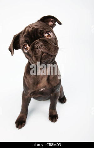 Pug dog sitting down, portrait - Stock Photo