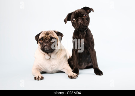 Pug dogs sitting down, portrait - Stock Photo