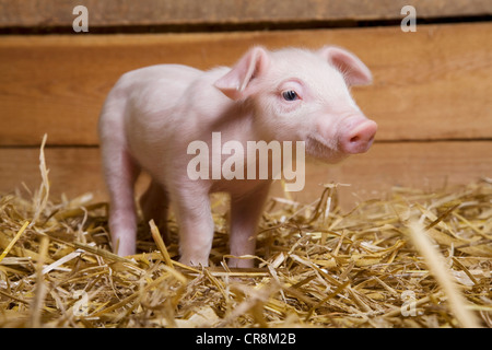 Piglet on straw - Stock Photo