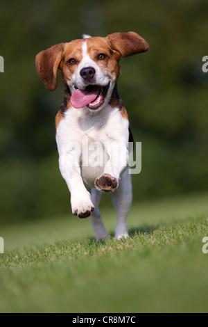 Dog running on grass with tongue out - Stock Photo