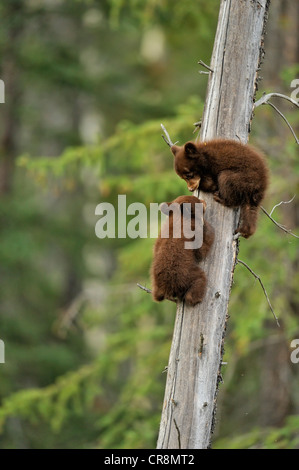American Black bear (Ursus americanus) Two cubs playing in the safety of a dead snag, Jasper National Park, Alberta, - Stock Photo