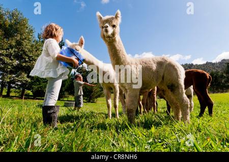 Children feeding alpacas in field - Stock Photo