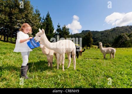 Girl feeding alpacas in field - Stock Photo