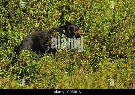 Black bear (Ursus americanus) foraging for saskatoon berries in late summer, Waterton Lakes National Park, Alberta, - Stock Photo
