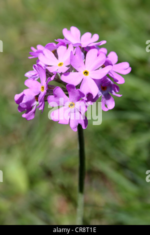 Bird's-eye Primrose Primula farinosa - Stock Photo