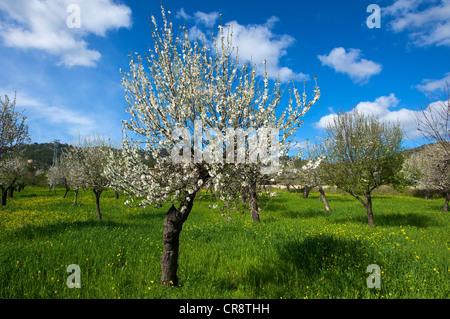 Blossoming almond tree, Majorca, Balearic Islands, Spain, Europe - Stock Photo