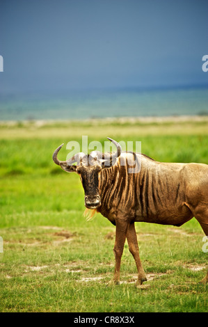 Portrait of Wildebeest in the landscape of Amboseli. Kenya, East Africa. - Stock Photo