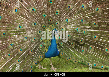 Portrait of a male Peacock displaying his feathers - Stock Photo