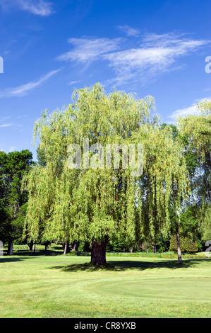 Mature weeping willow tree on a golf course. - Stock Photo