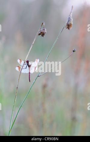 Banded darter (Sympetrum pedemontanum), male, Brandenburg, Germany, Europe - Stock Photo