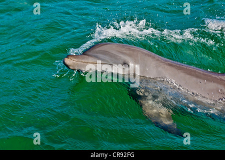 Dolphin in the ocean, Roatan Island, Honduras - Stock Photo