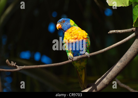 Rainbow Lorikeet (Trichoglossus haematodus), Townsville, Queensland, Australia - Stock Photo
