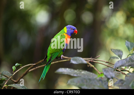 Rainbow Lorikeet (Trichoglossus haematodus), Atherton Tablelands, Queensland, Australia - Stock Photo