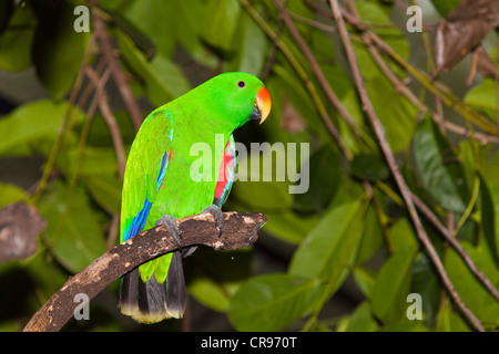 Eclectus Parrot (Eclectus roratus), male, rainforest, Cape York Peninsula, northern Queensland, Australia - Stock Photo
