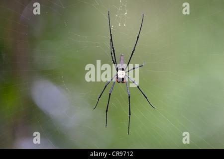 Golden Orb Web Spider (Nephila spec.), weaving spider in its web, rainforest, Atherton Tablelands, Queensland, Australia - Stock Photo