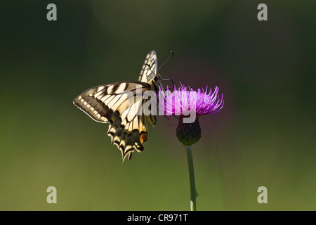 Common yellow swallowtail (Papilio machaon) perched on a blooming thistle, Upper Bavaria, Bavaria, Germany, Europe