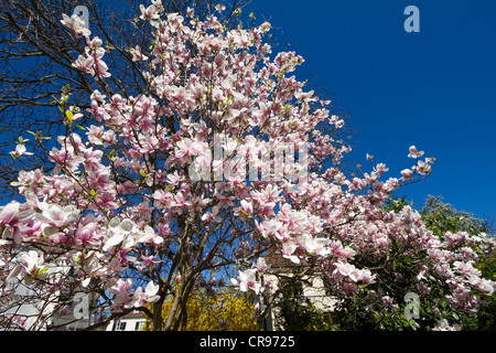 Blooming magnolia trees (Magnolia spec.) in a garden, Bavaria, Germany, Europe - Stock Photo