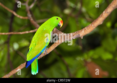 Eclectus Parrot (Eclectus roratus), male, rain forest, Cape York Peninsula, northern Queensland, Australia - Stock Photo