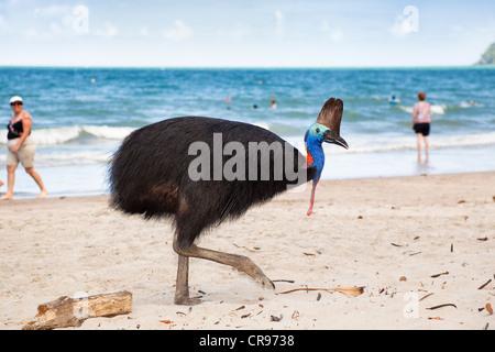 Southern Cassowary (Casuarius Casuarius), female, with tourists on the beach, Moresby Range, Queensland, Australia - Stock Photo