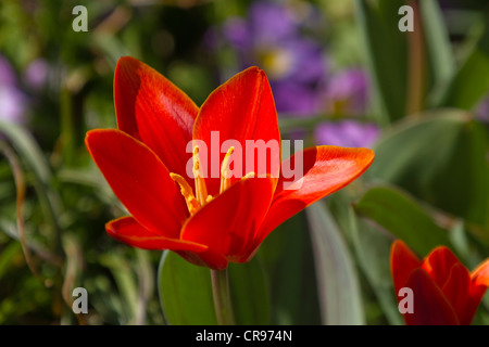 Red Tulip (Tulipa sp.) in a garden, spring, Germany, Europe - Stock Photo