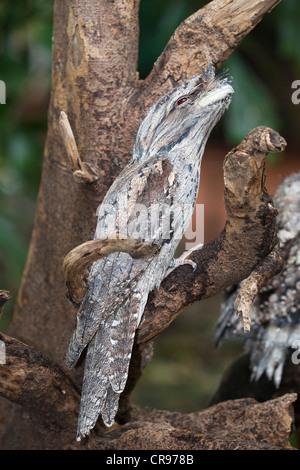 Tawny Frogmouth (Podargus strigoides), Queensland, Australia - Stock Photo
