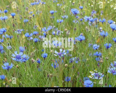 Cornflowers in a grainfield / Centaurea cyanus / Kornblumen im Getreidefeld