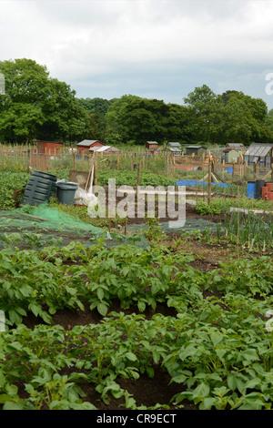 Allotment gardens in Summer. UK - Stock Photo