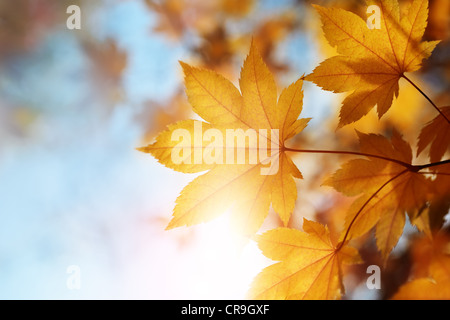 autumn leaves against the blue sky and sun, selective focus - Stock Photo