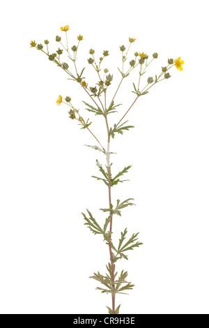 little yellow flower (Potentilla argentea) on white - Stock Photo