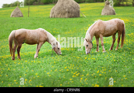 Two horses grazing on a meadow with the haystacks - Stock Photo