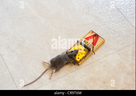 Dead mouse in a mouse trap - Stock Photo