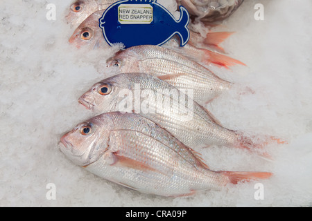 New Zealand red snapper fish on ice in the market - Stock Photo